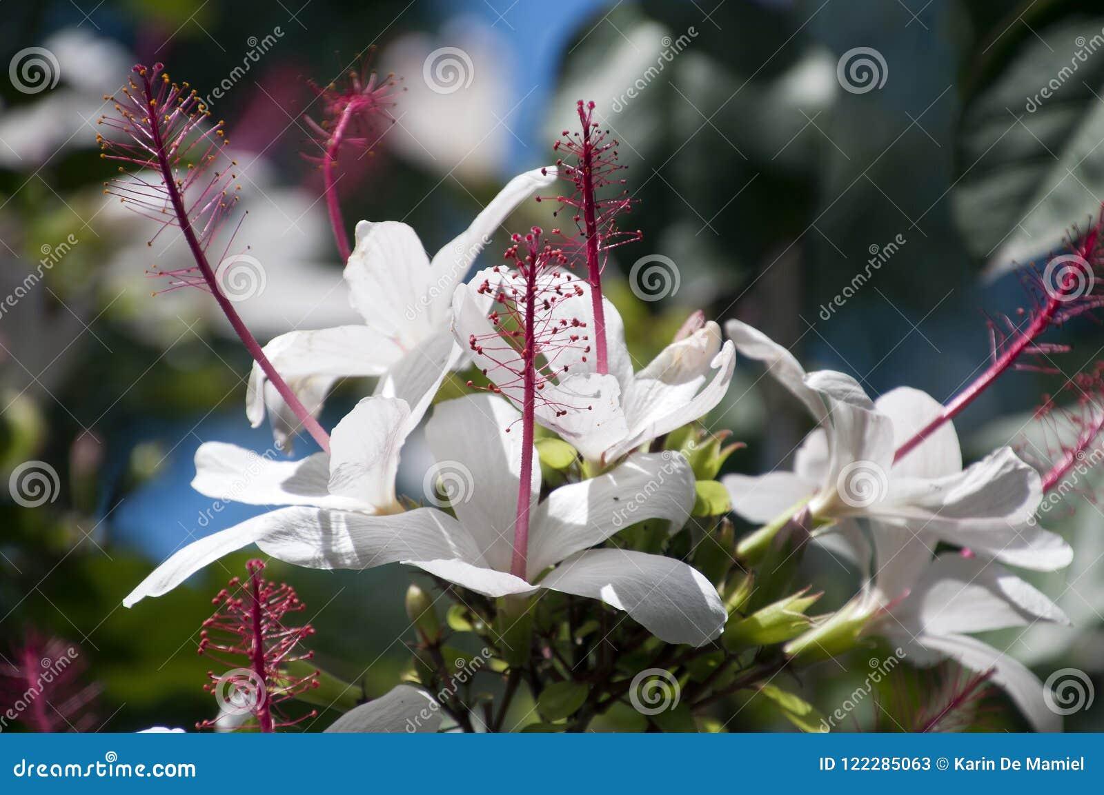 Witte Hibiscusbloemen met lange ref-meeldraad in tuin