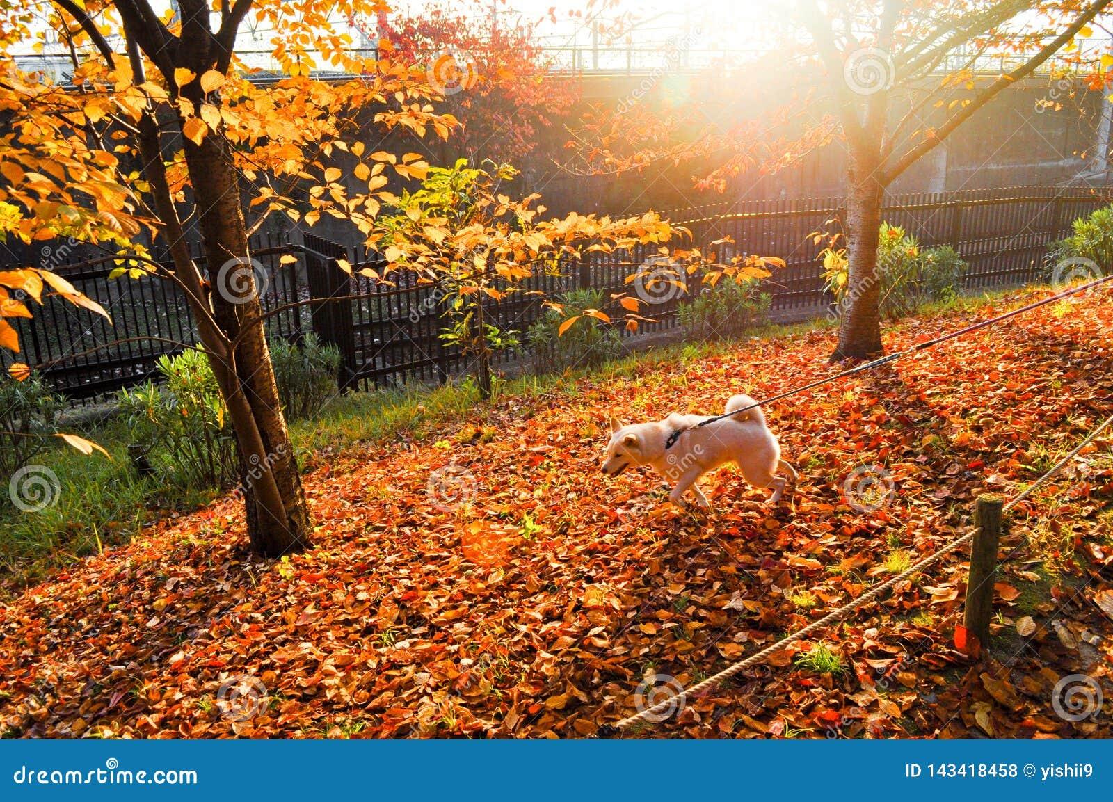 Witte hond die op rode bladeren op een zonnige dag lopen