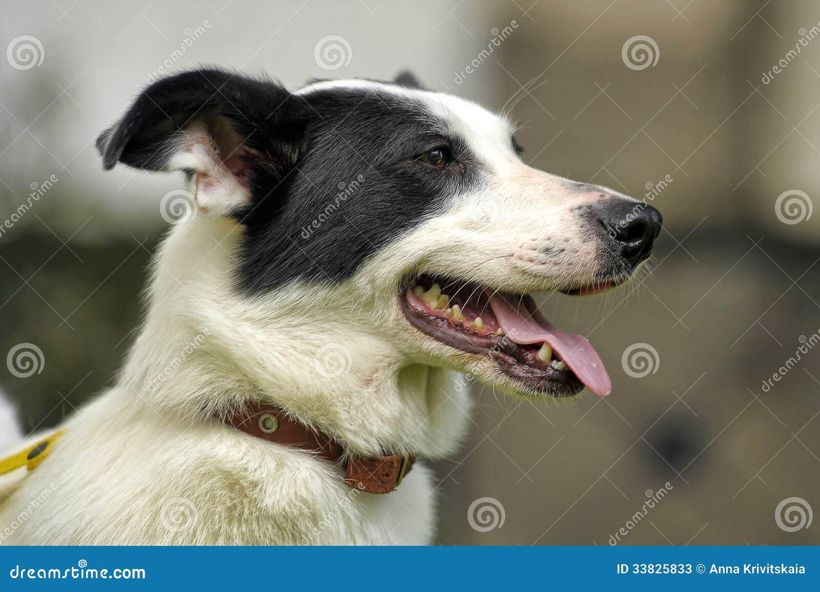 Witte Hond Met Zwarte Vlekken Stock Foto u0026#39;s   Afbeelding  33825833