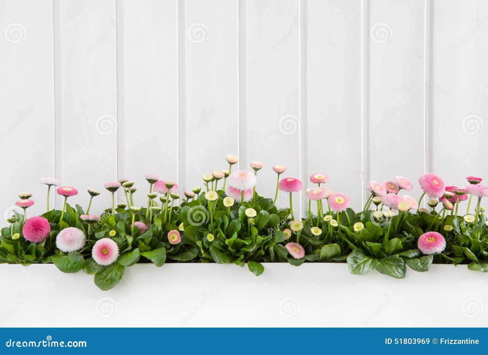Witte houten de lenteachtergrond met roze madeliefjebloemen