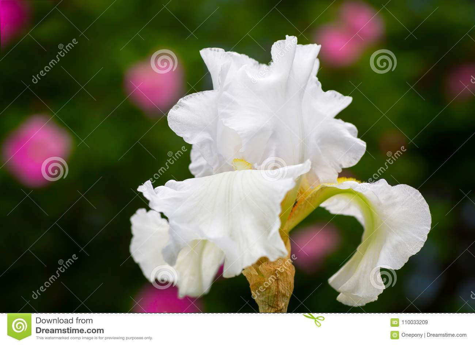 Witte Iris in de huistuin