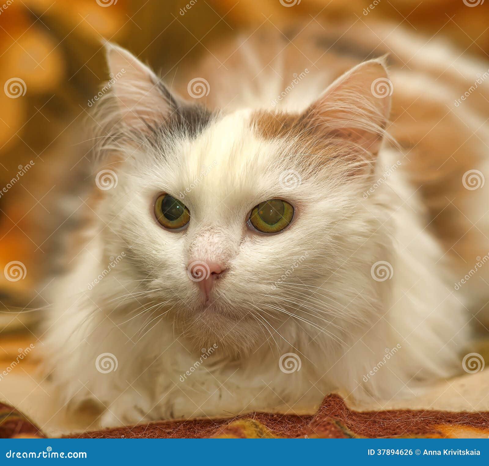Witte kat met rode en grijze vlekken