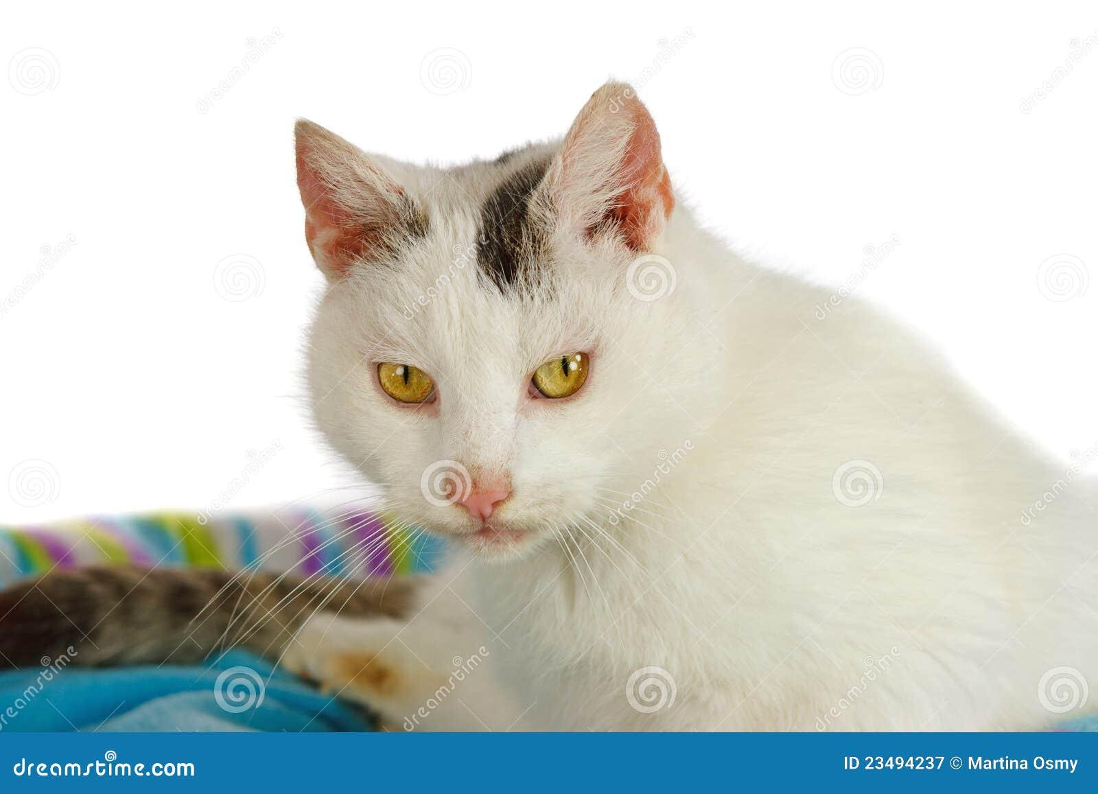 Witte kater in zijn kattenbed