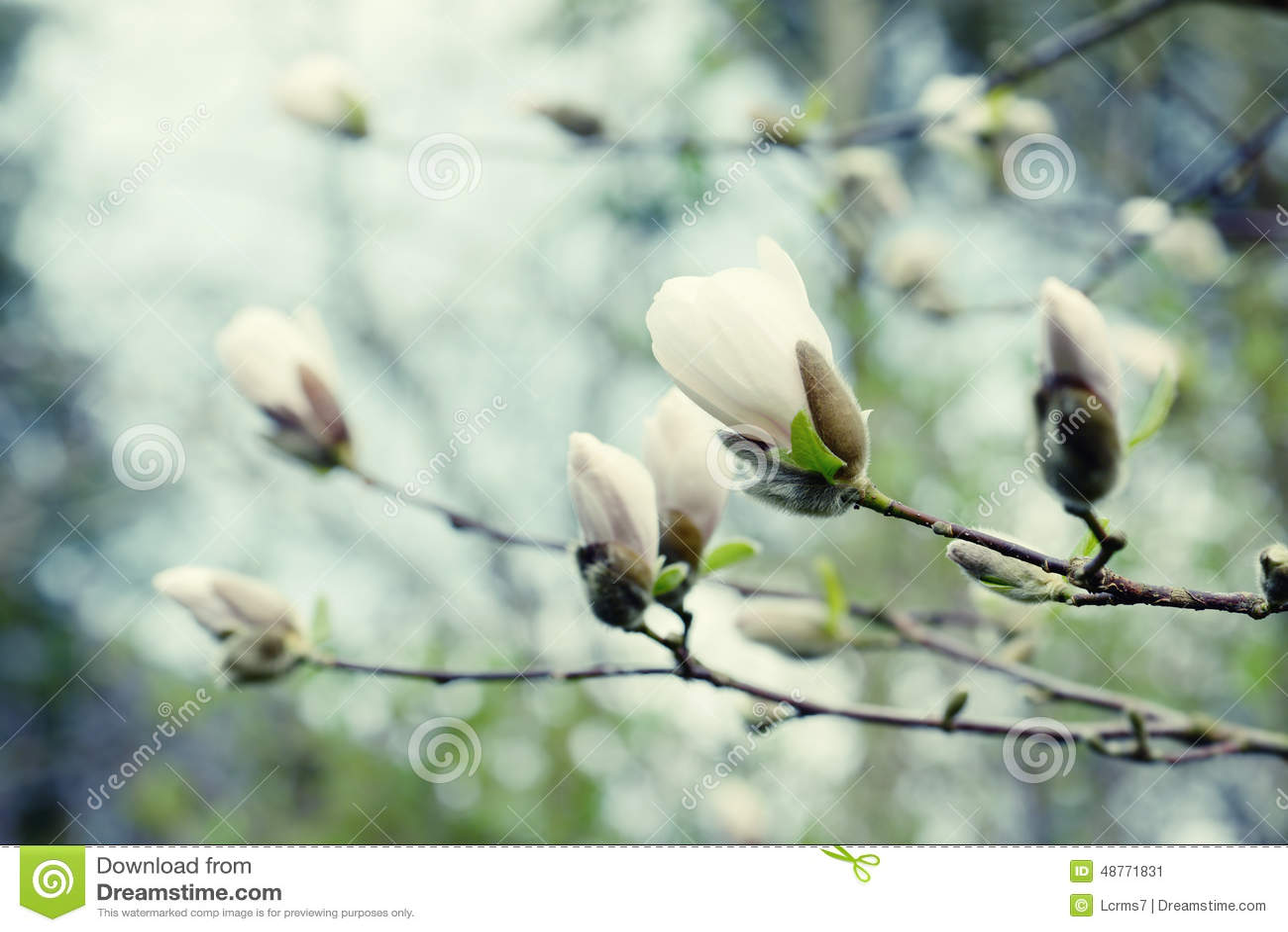 Witte knop van magnoliaboom