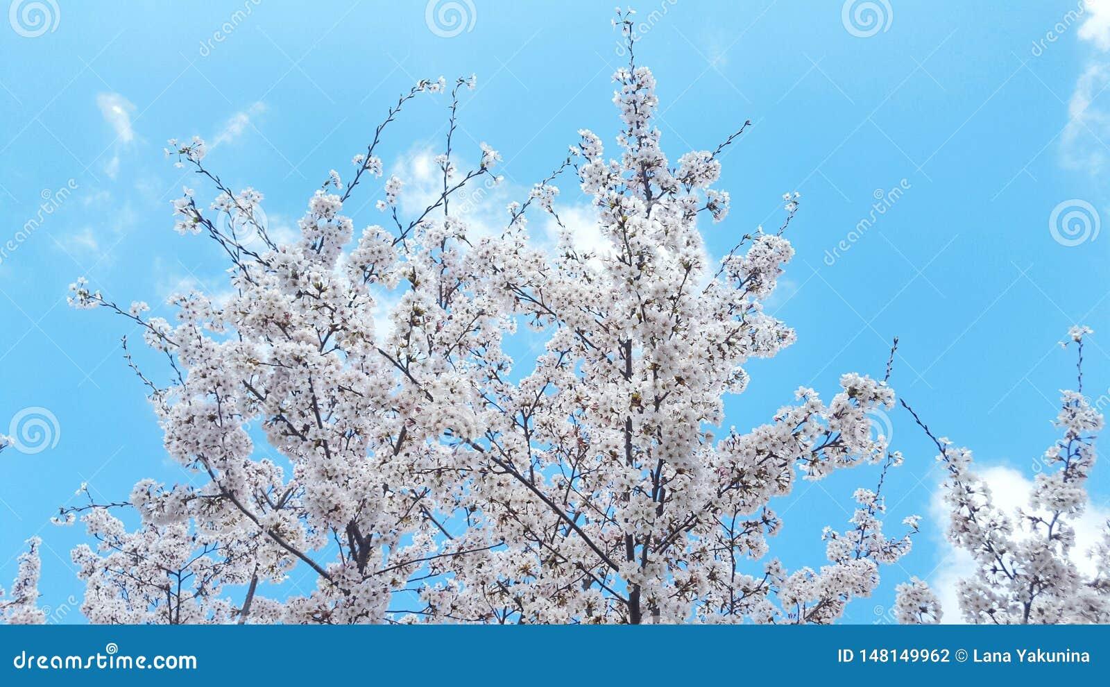 Witte knoppen van bloemen in de blauwe duidelijke hemel