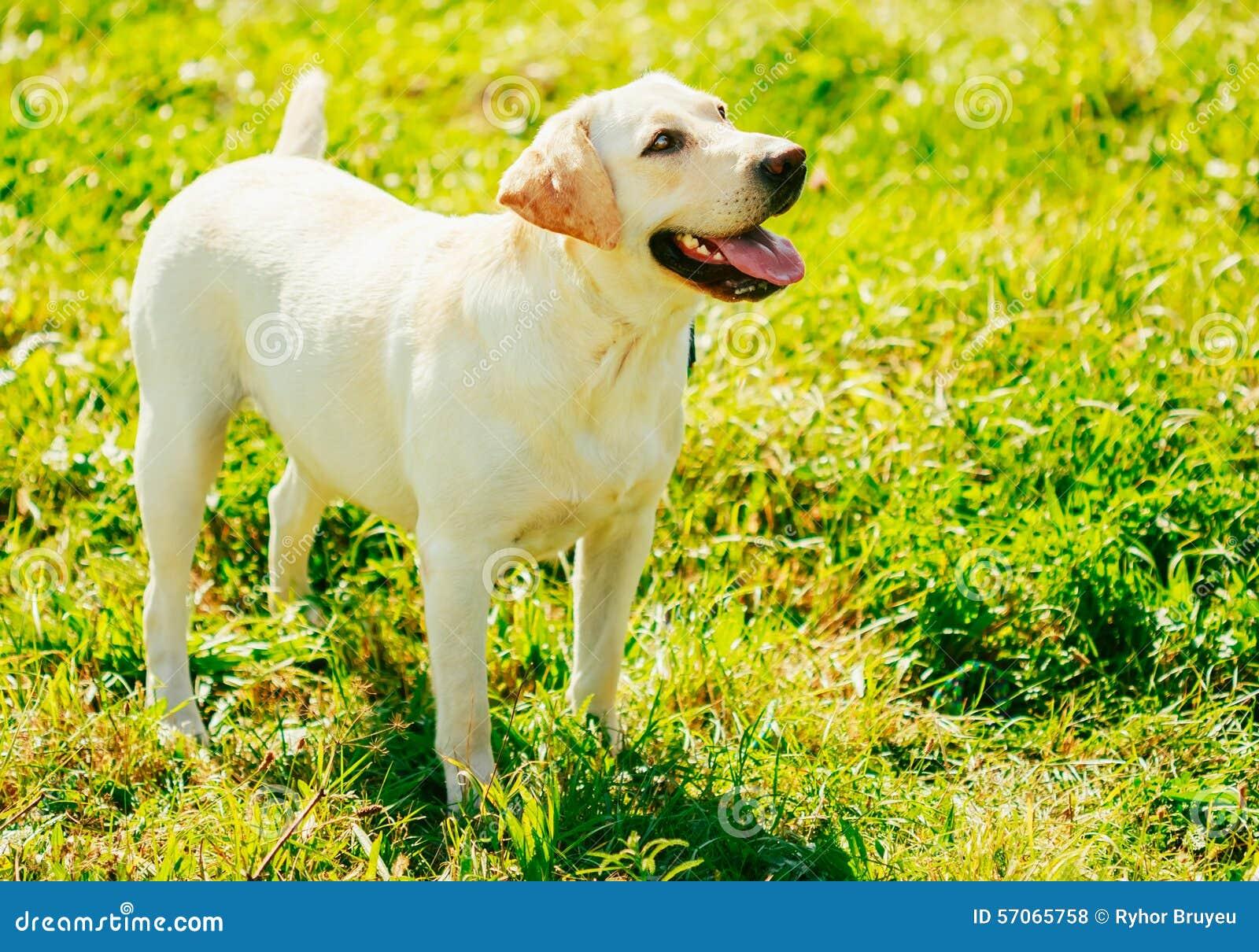 Witte Labradorhond die zich op Gras bevinden