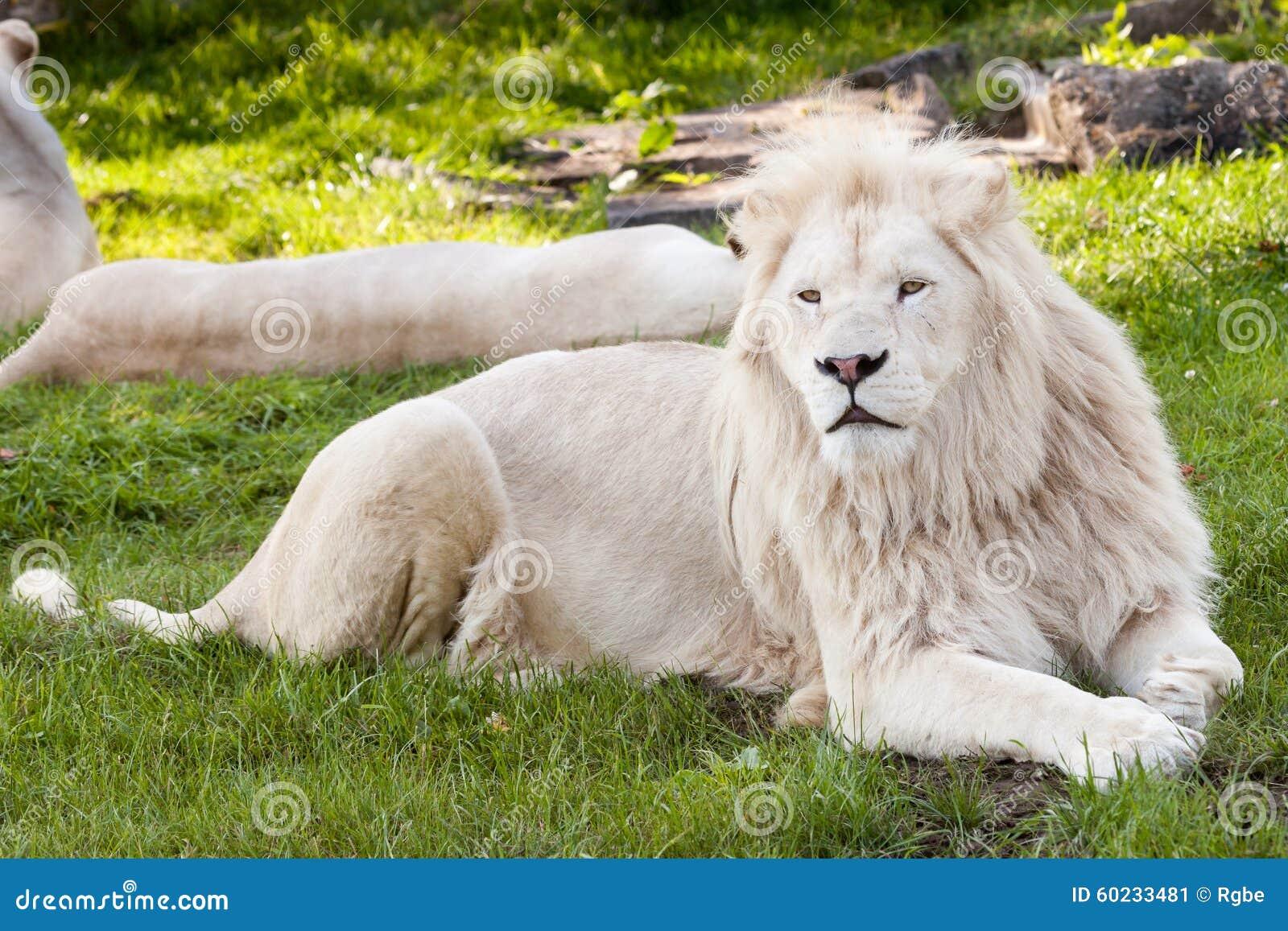 Witte Leeuw