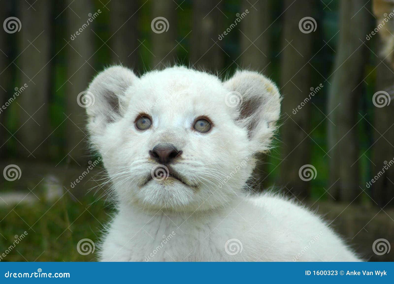 Witte leeuwwelp