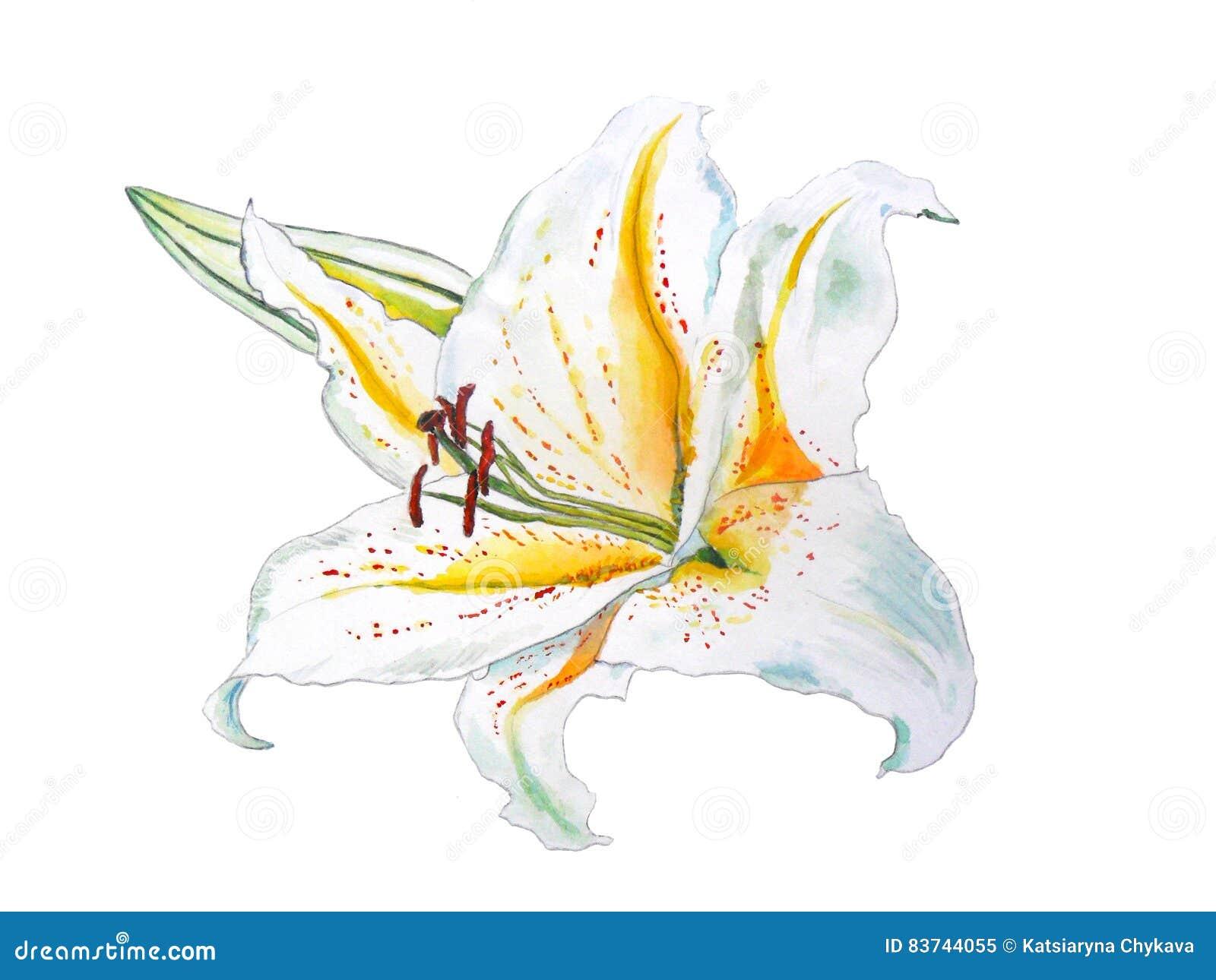 Witte lelie met gele die midden-delen en een knophand in watercolour wordt getrokken