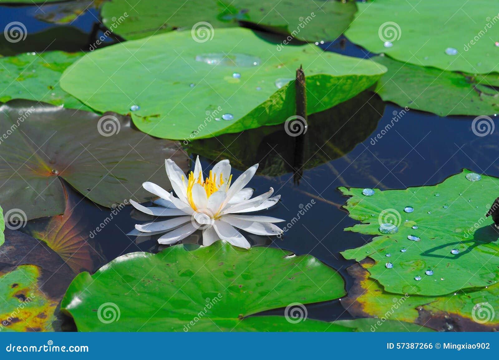 Witte lotusbloem, waterlelie