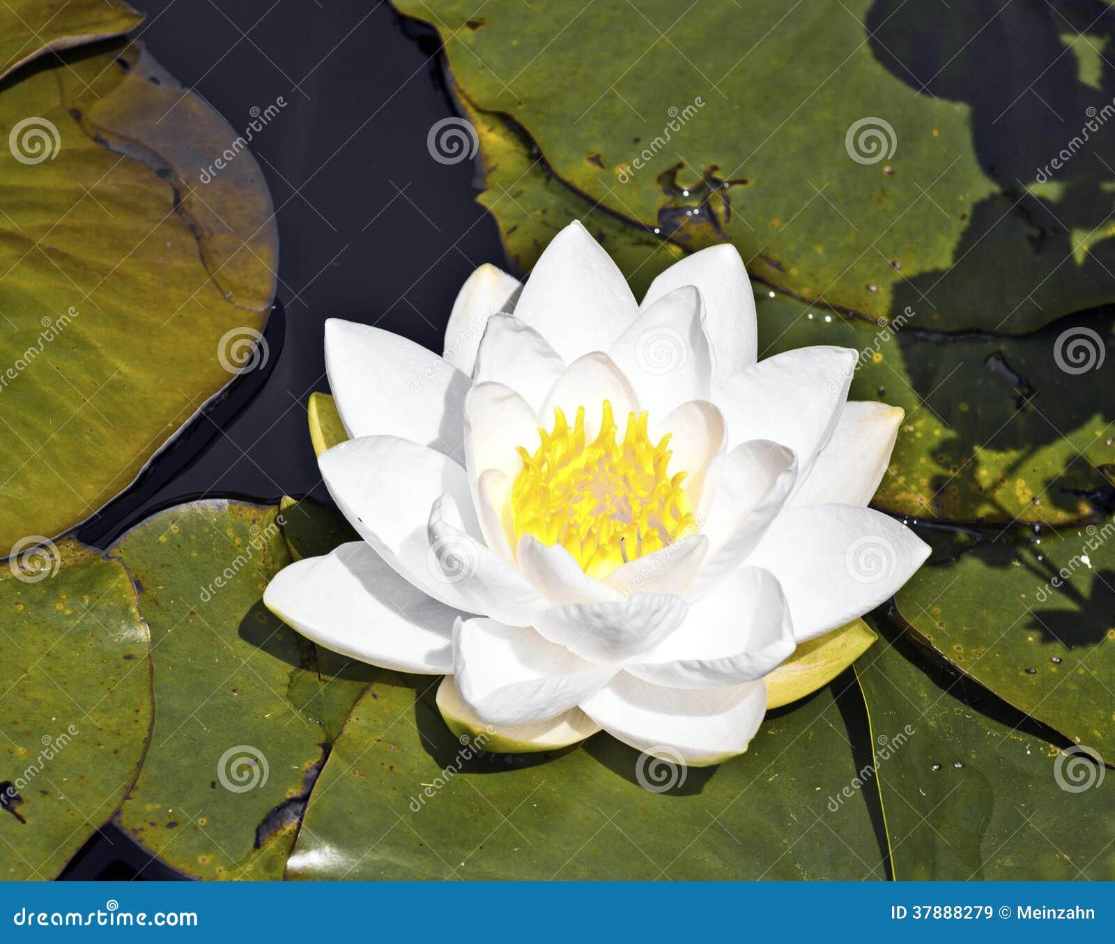 Witte lotusbloemwaterlelie in meer