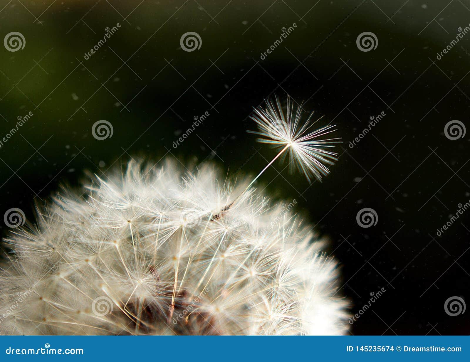 Witte luchtpaardebloem