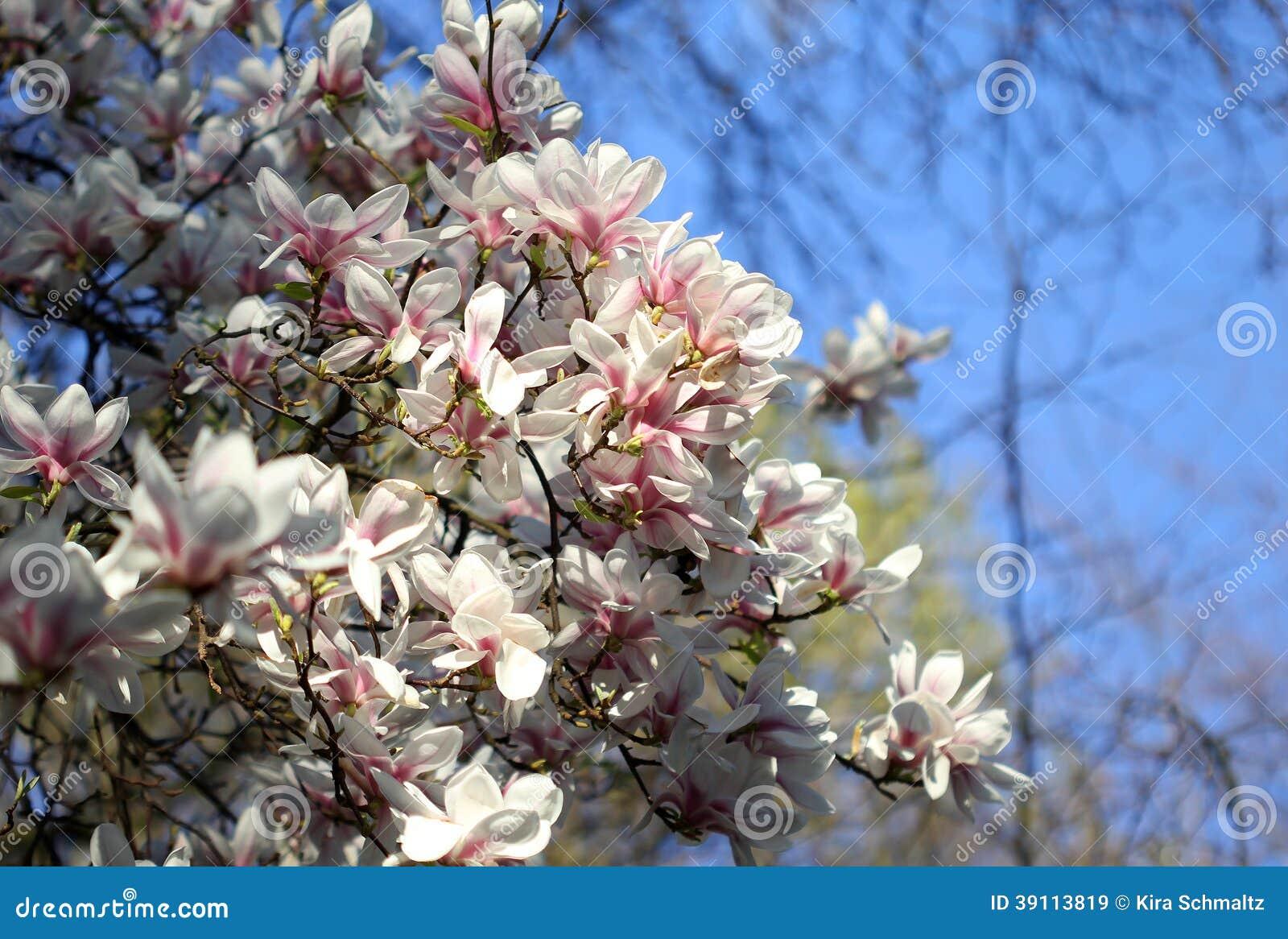 Witte magnoliabloemen in de lente
