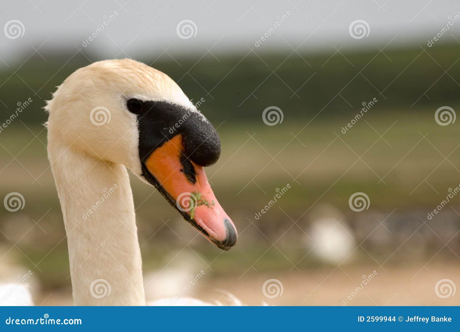 Witte mannelijke zwaan