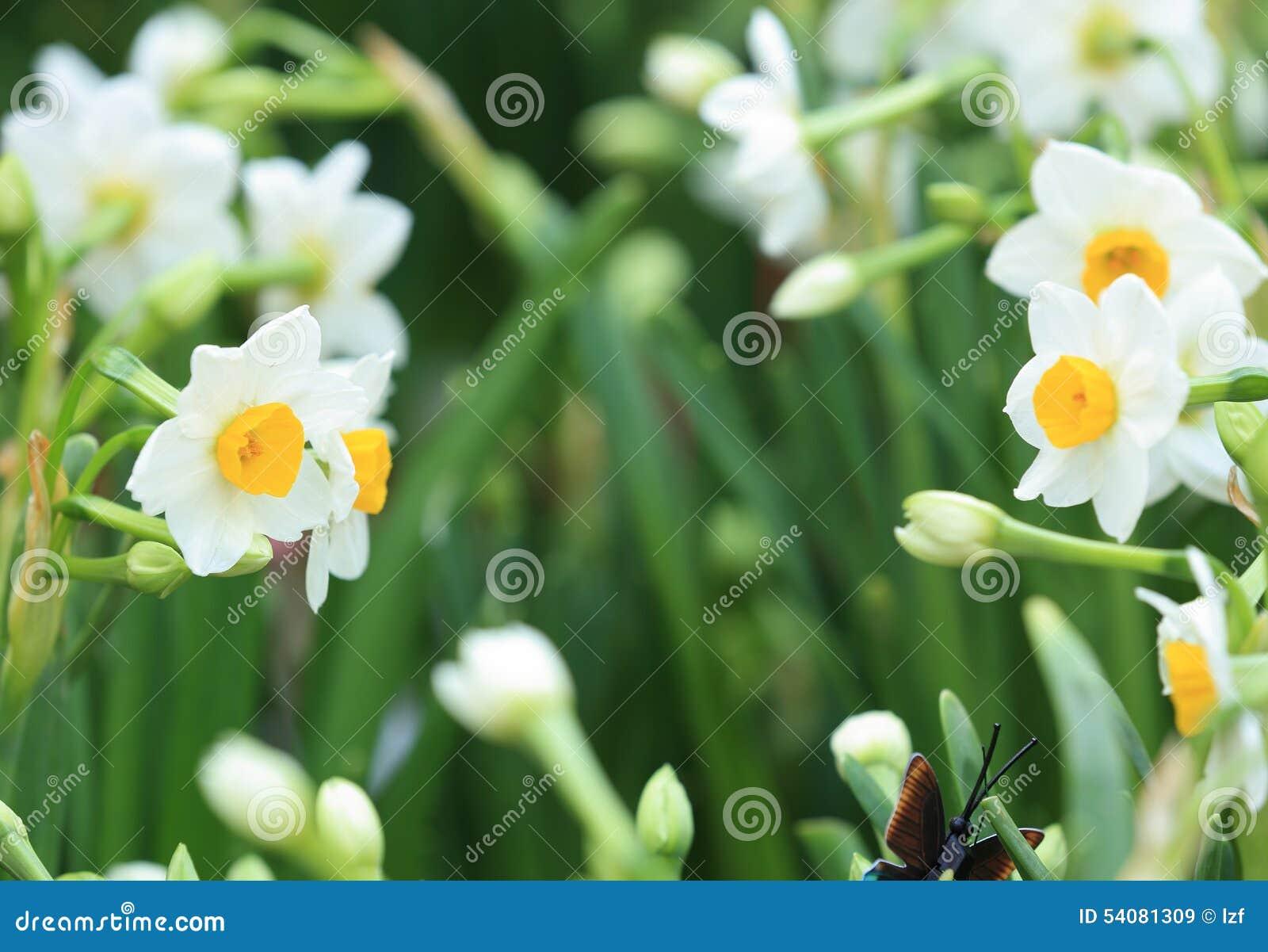 Witte mooie narcissenbloemen