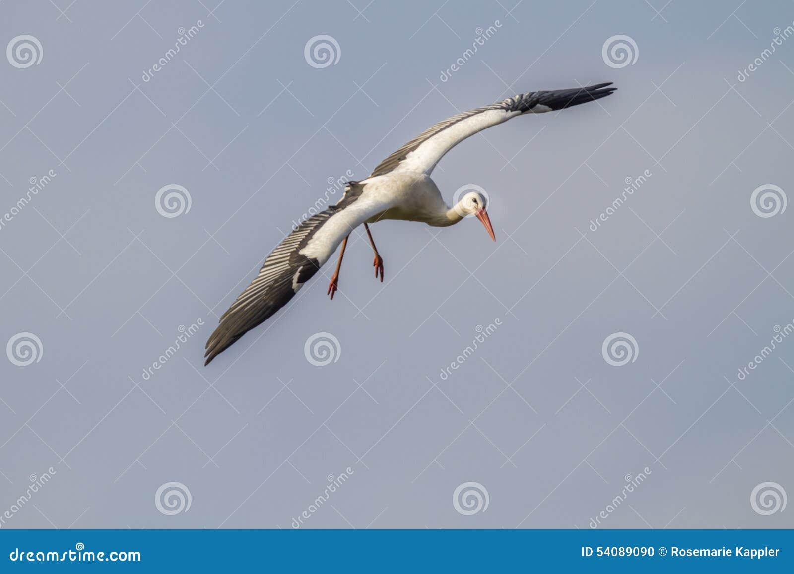 Witte Ooievaar (Ciconia-ciconia)