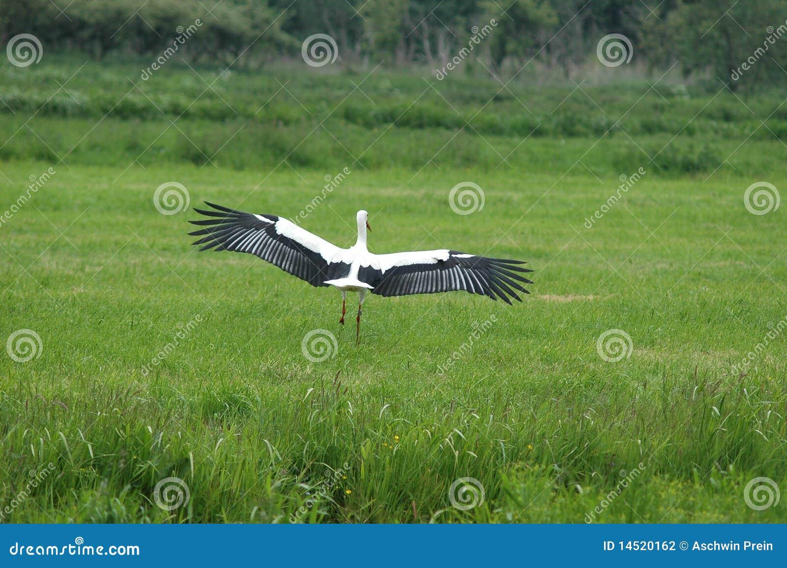 Witte Ooievaar die op gebied landt