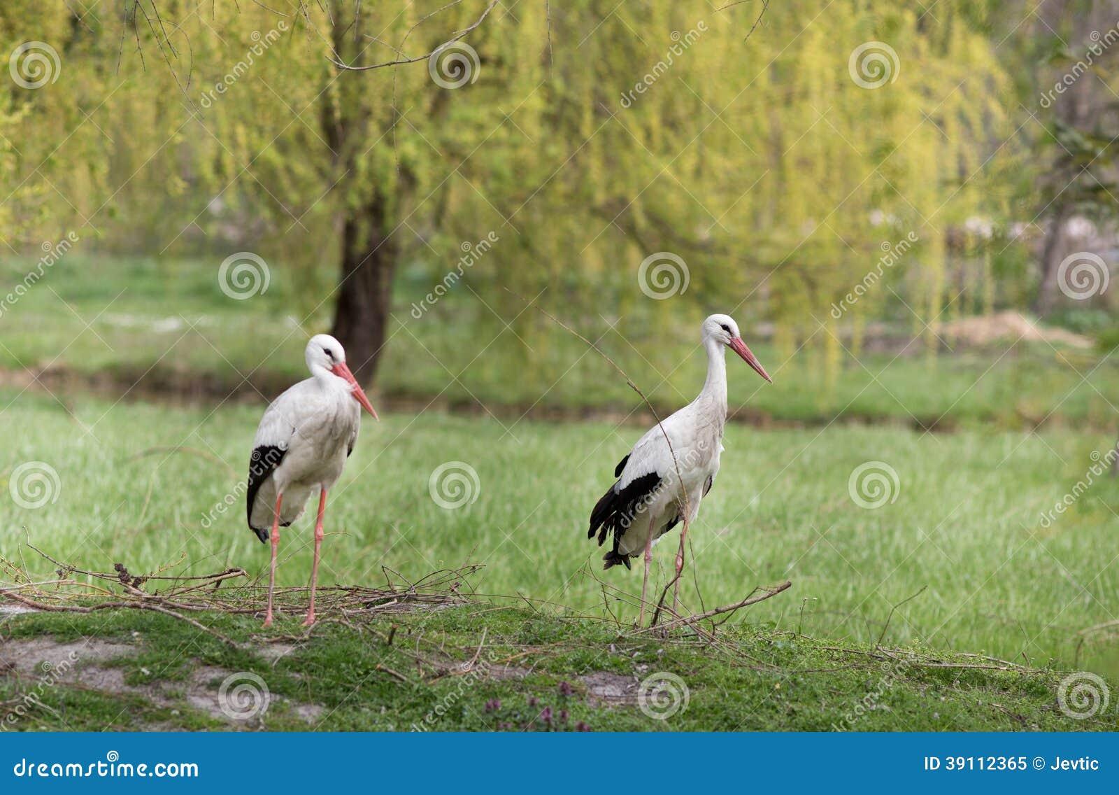 Witte ooievaars