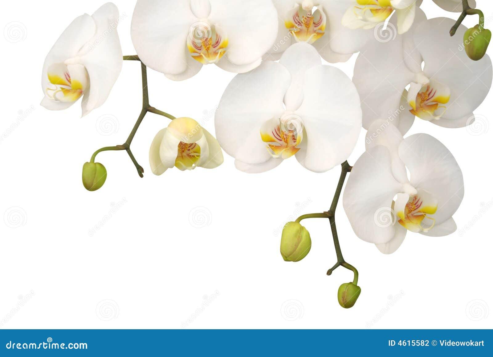 Frangipani spa flowers stock photo image 14654190 - Witte Orchidee Stock Fotografie