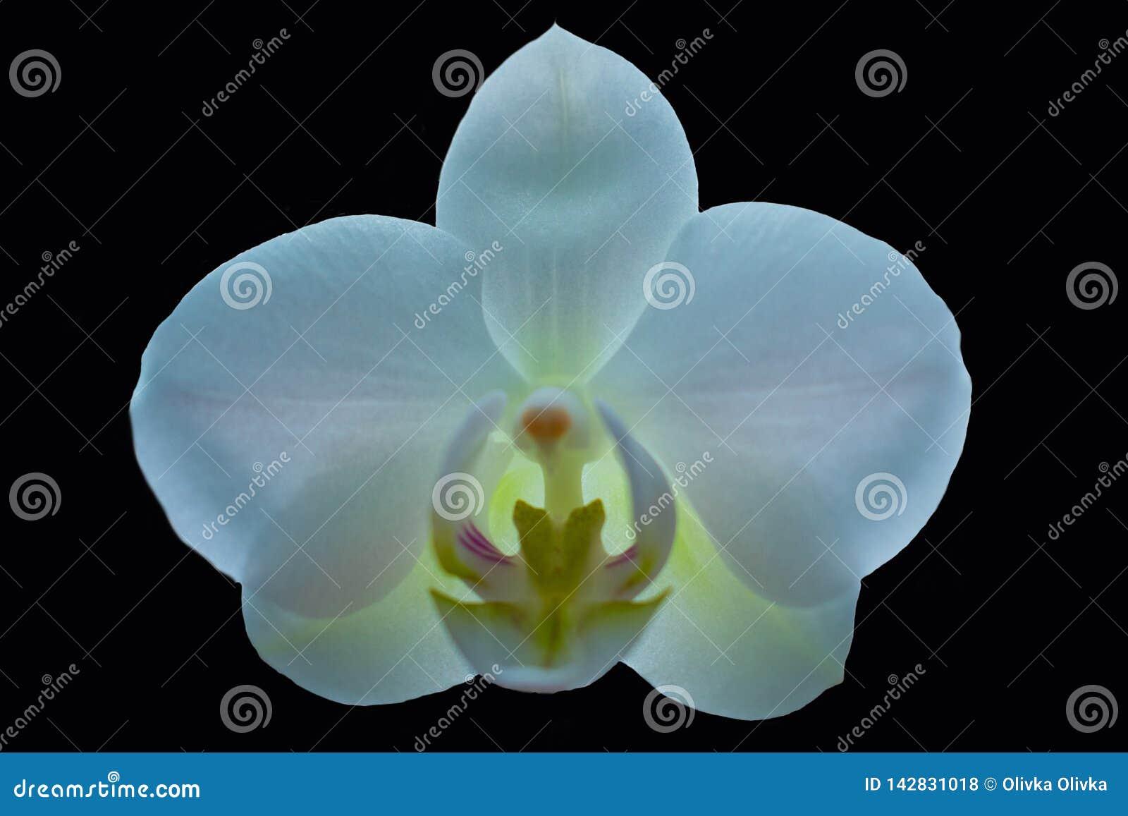 Witte Orchidee op zwarte achtergrond