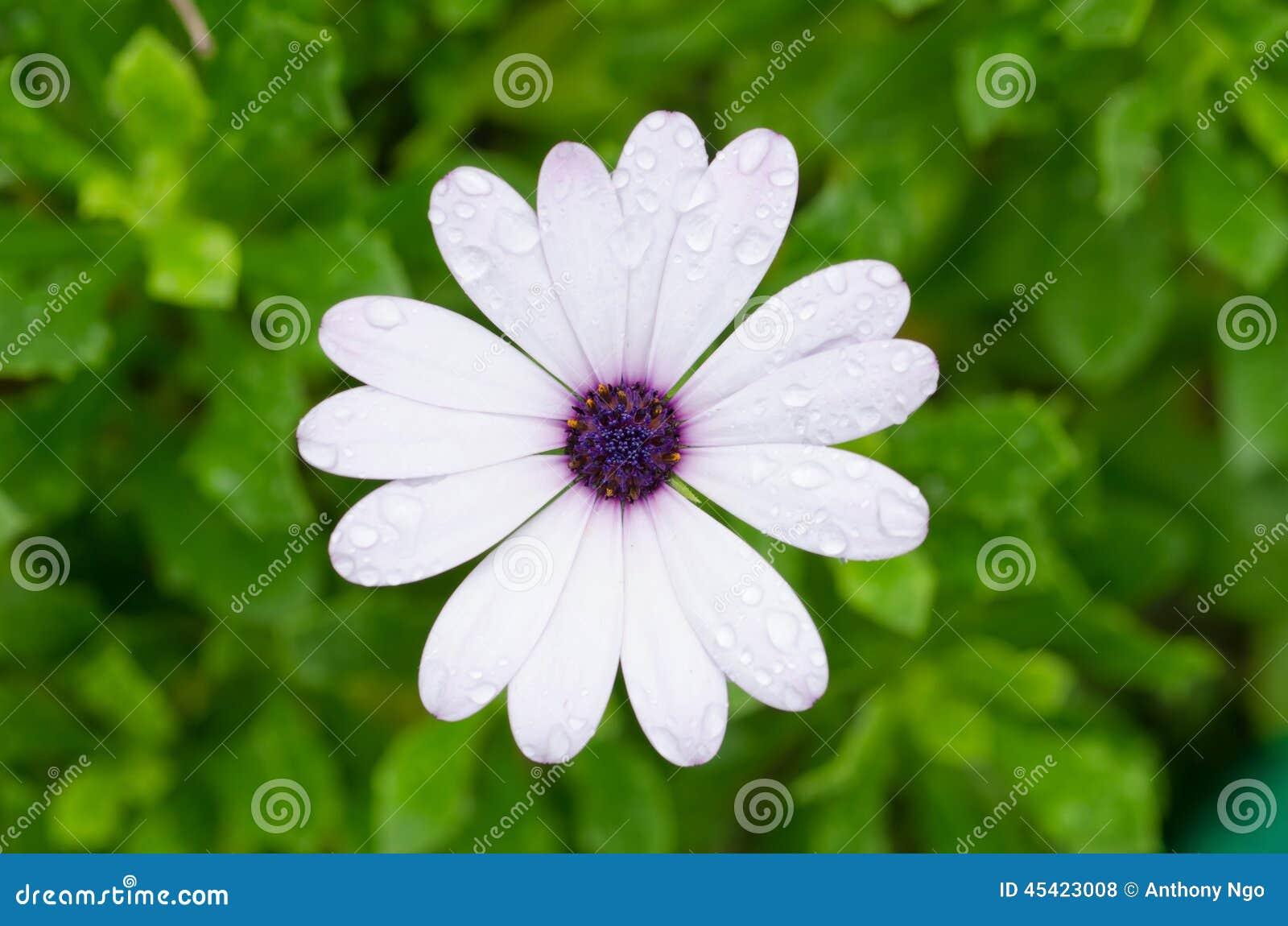 Witte Osteospermum Afrikaanse Daisy