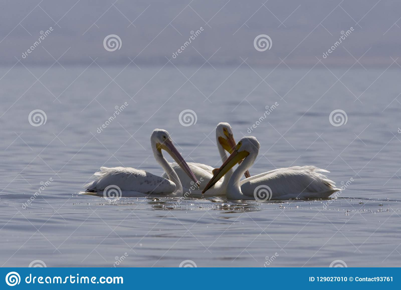 Witte Pelikaan, amerikansk vit pelikan, Pelecanuserythrorhyncho
