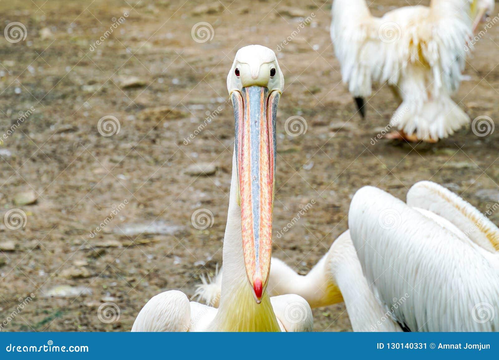 Witte pelikaan in de dierentuin