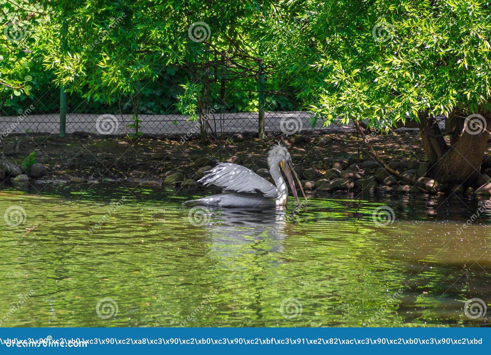 Witte pelikaan in gevangenschap, witte pelikaan bij de dierentuin