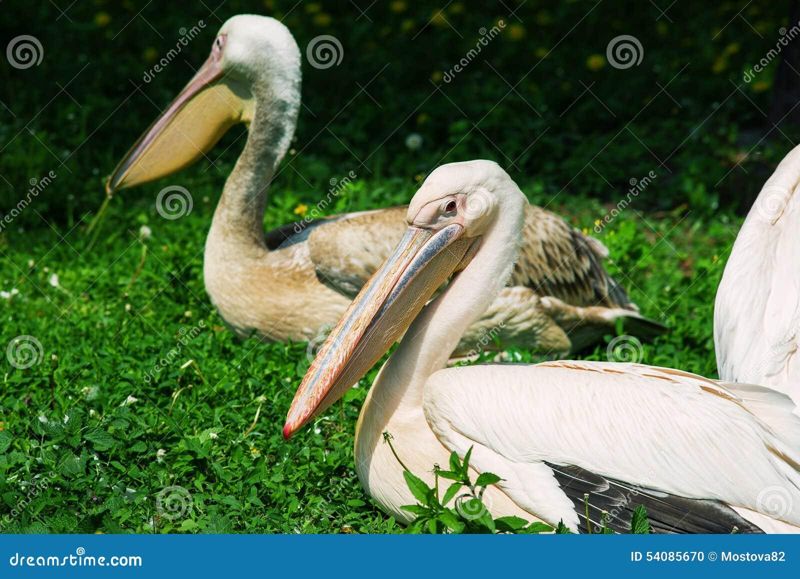 Witte pelikanen