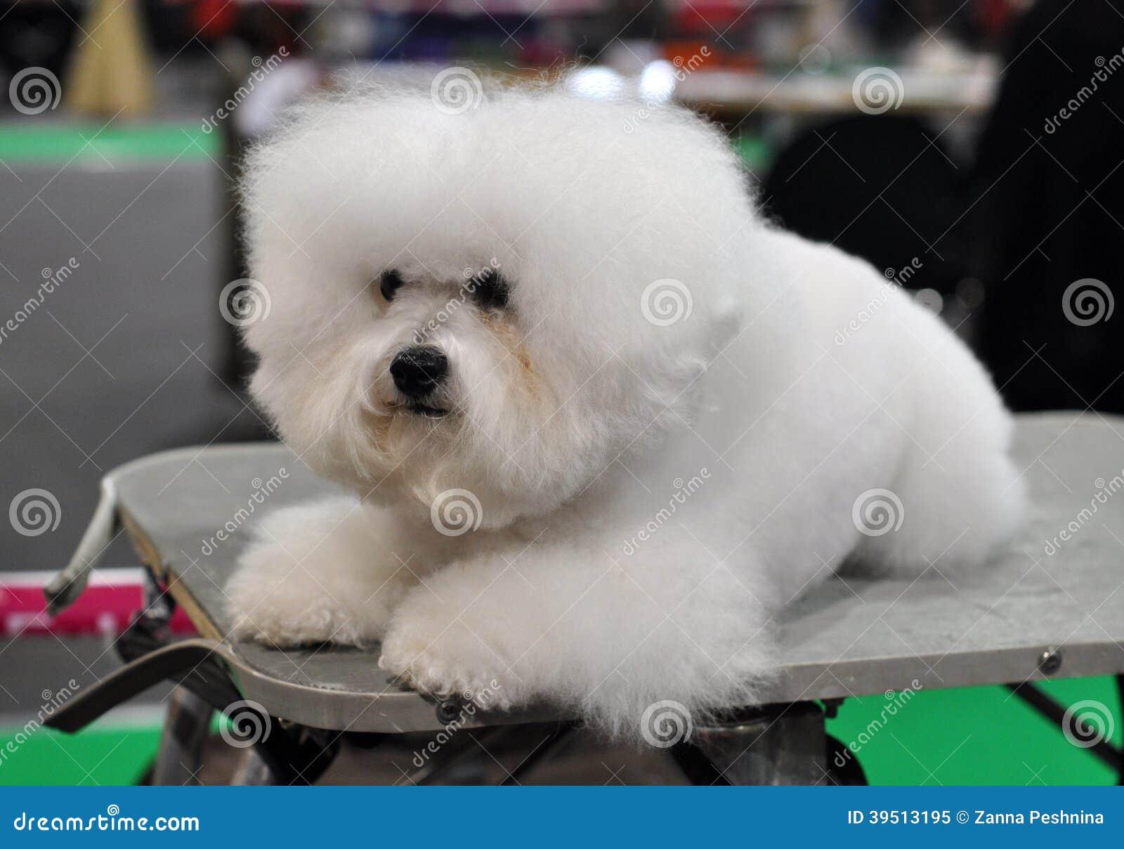 Witte pluizige hond Bichon Frise