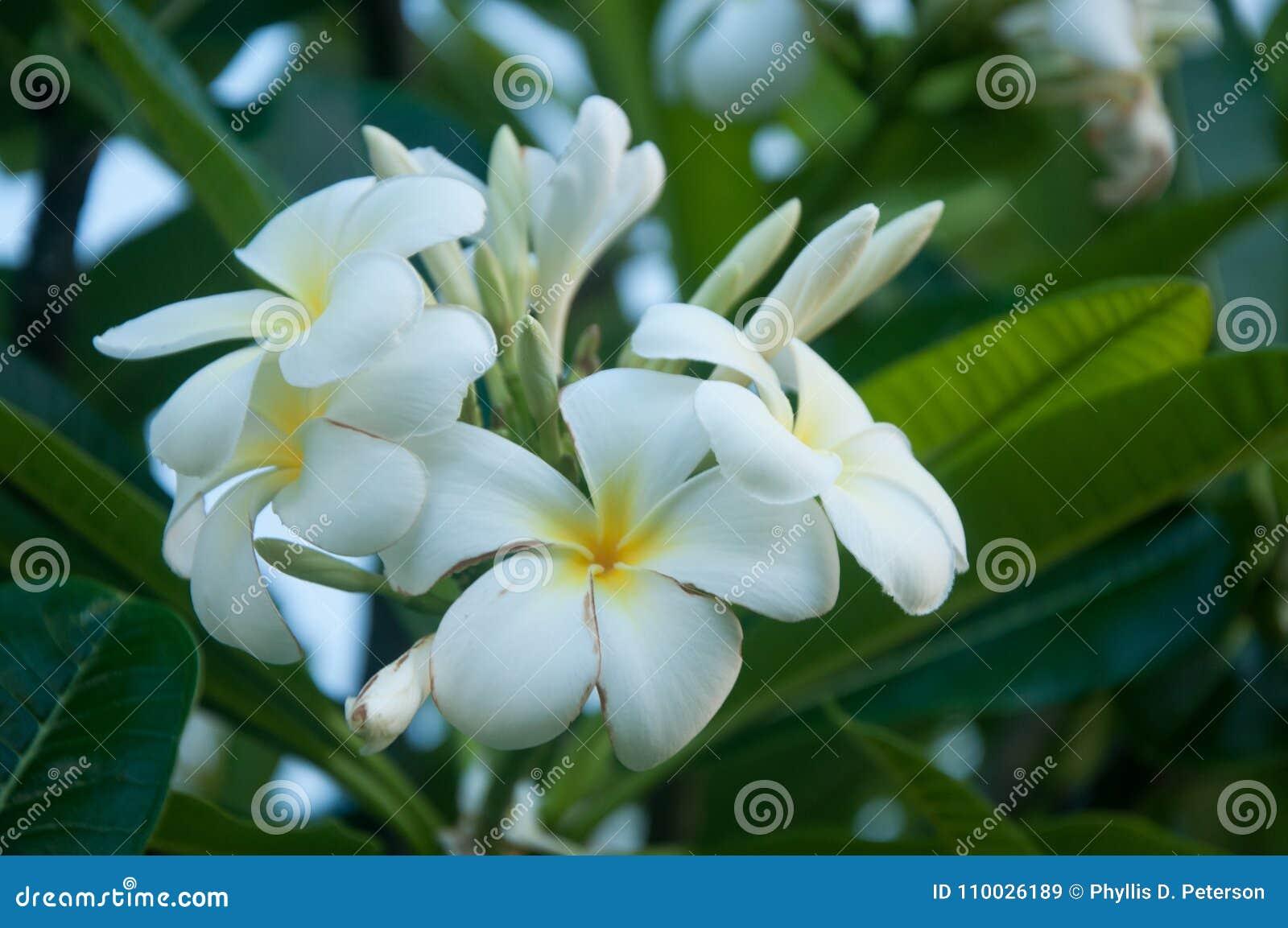 Witte Plumeria-Bloemen in Kauai, Hawaï