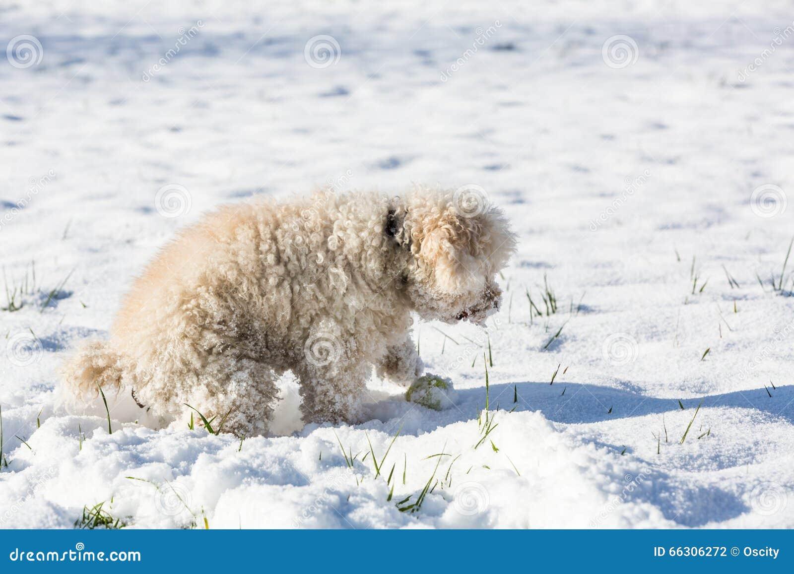 Witte poedel