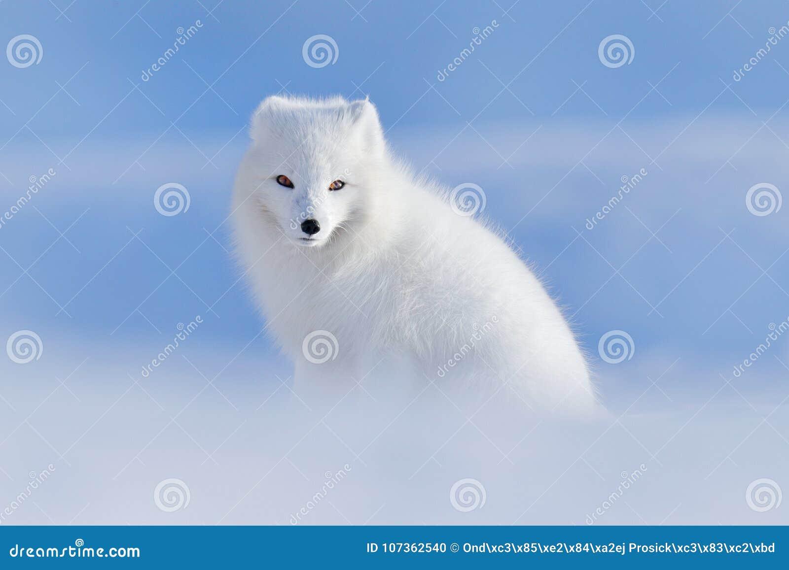 Witte polaire vos in habitat, de winterlandschap, Svalbard, Noorwegen Mooi dier in sneeuw De vos van de zitting De scène van de h