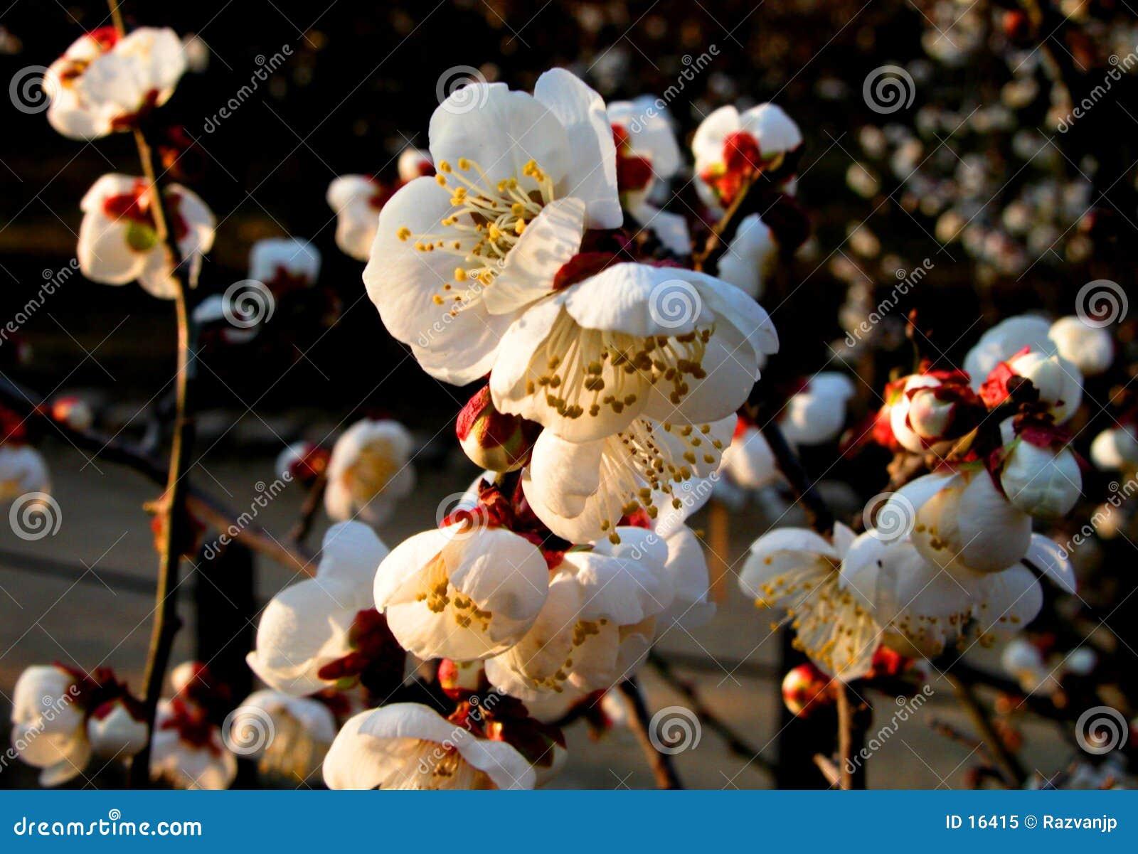 Witte pruimbloemen