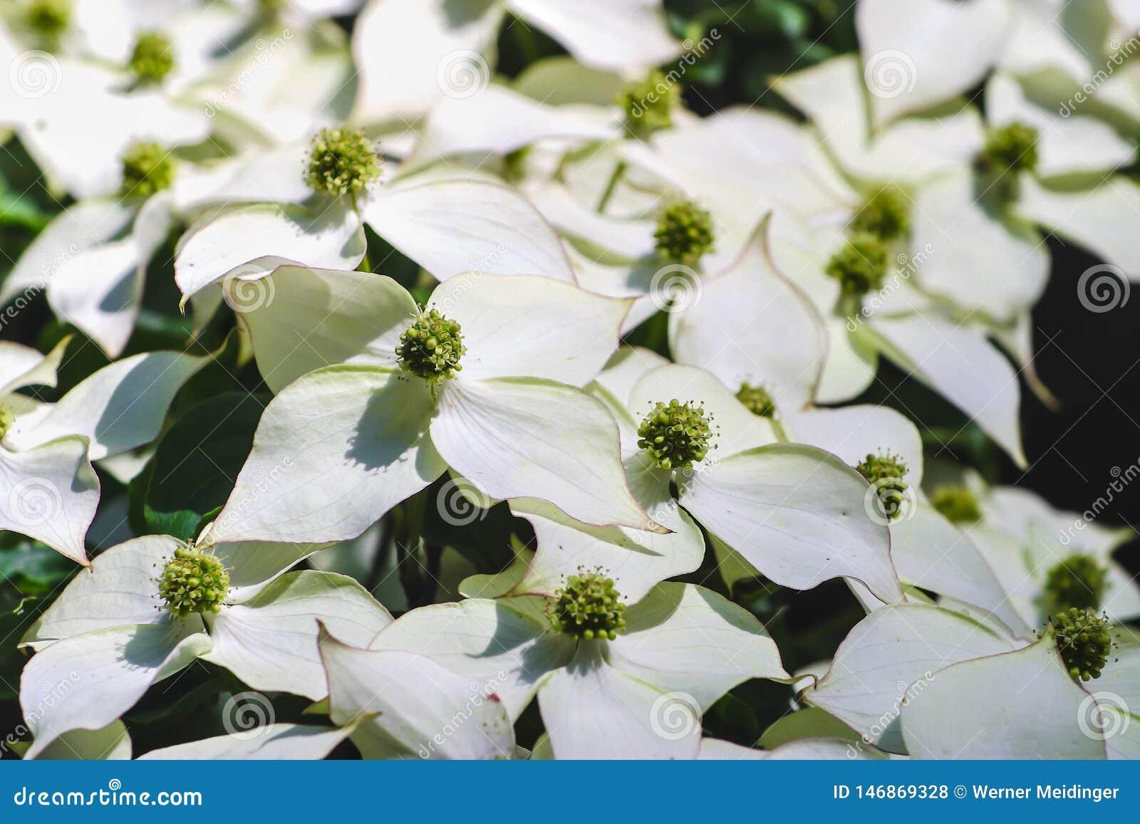 Witte pseudoflowers en groene bloemen van de Chinese Kornoelje, Aziatische Kornoelje, Cornus kousa