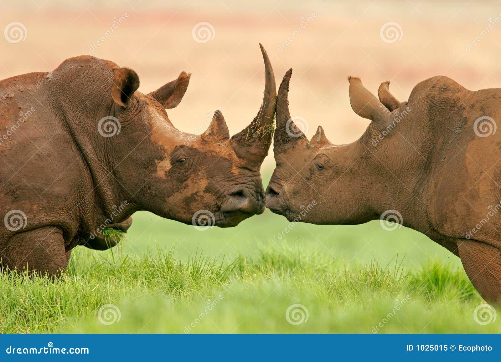 Witte rinoceros