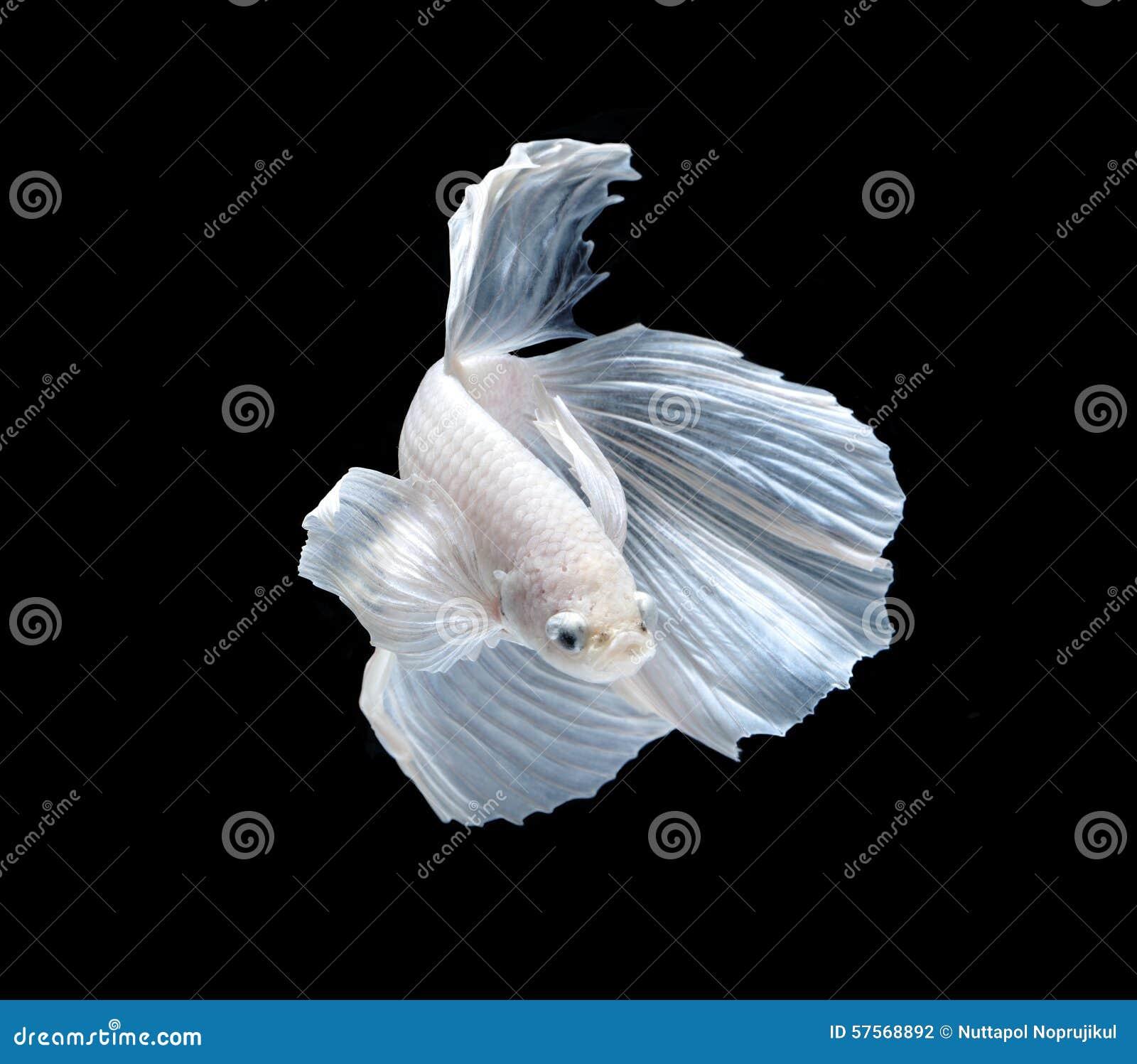 Witte siamese het vechten vissen, bettavissen die op zwarte backgr worden geïsoleerd