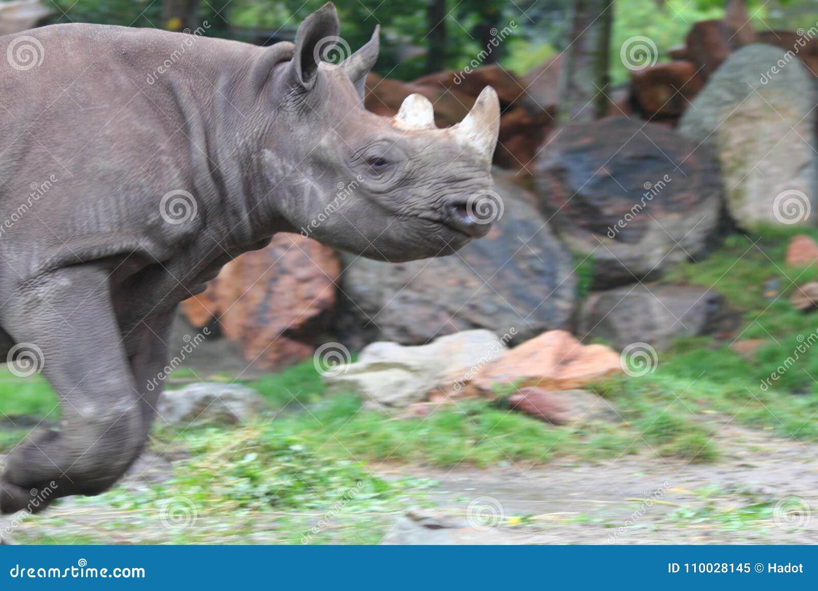 Witte simum van rinocerosceratotherium