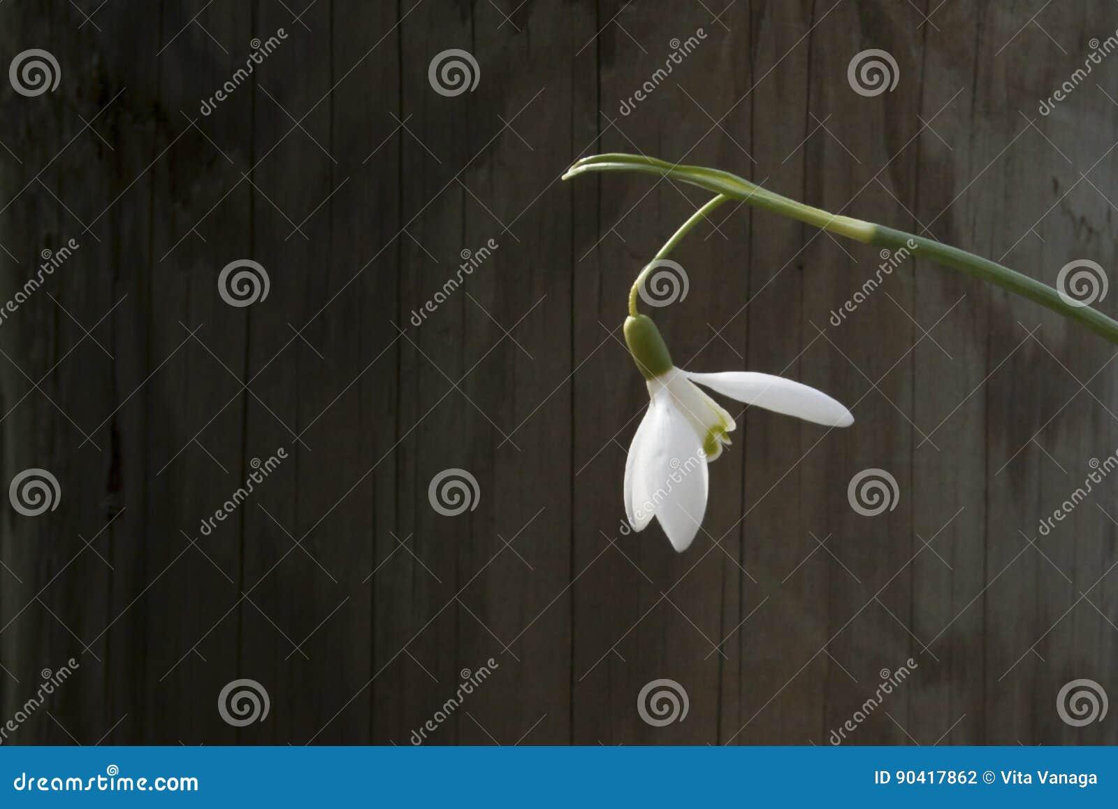 Witte snowbellclose-up op houten grijze achtergrond, de lege ruimte, duidelijke stemming van de eenvoudlente