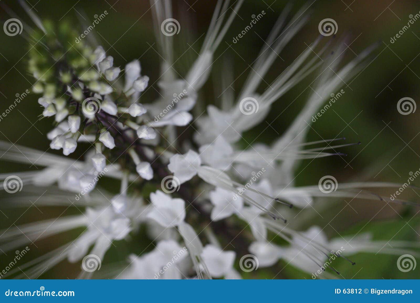Witte stekelige bloem