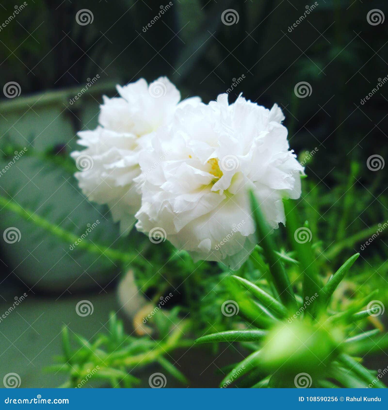 Witte tablerose
