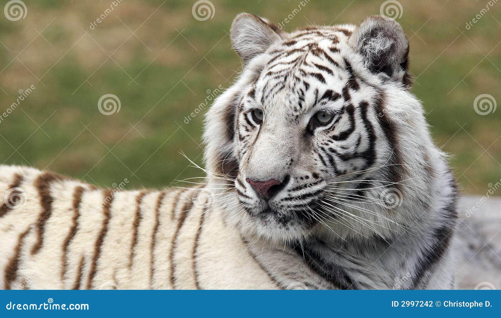 Witte tijger 2