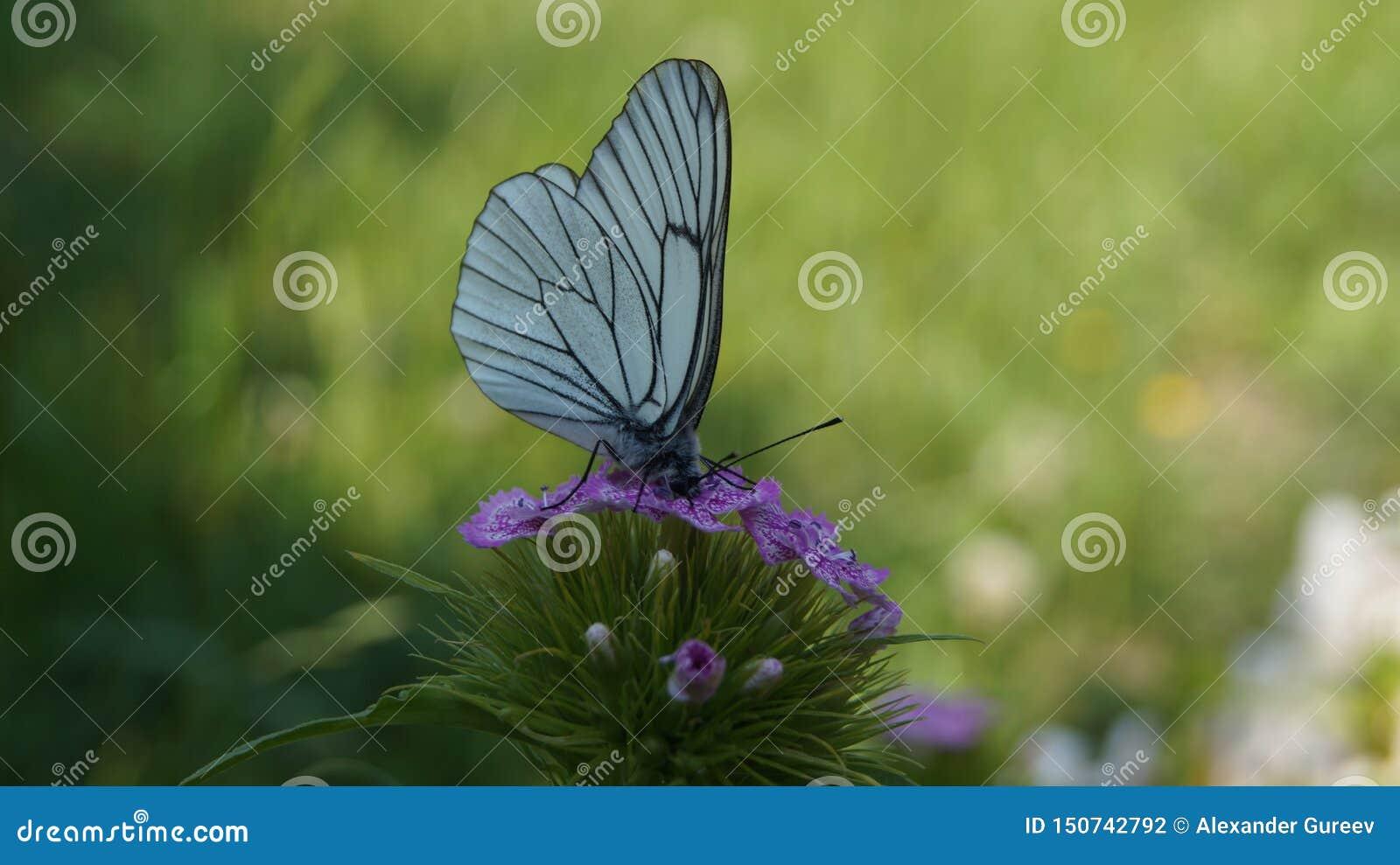 Witte vlinder het drinken nectar van een bloem van kruidnagels