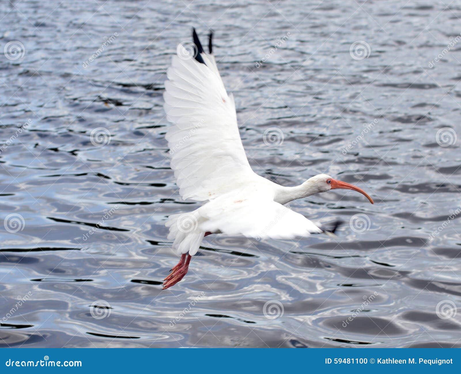 Witte vogel tijdens de vlucht over water
