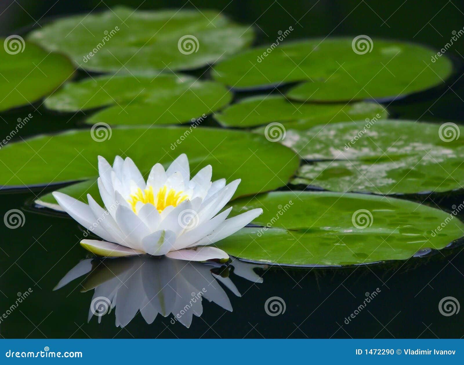 Witte waterlelie