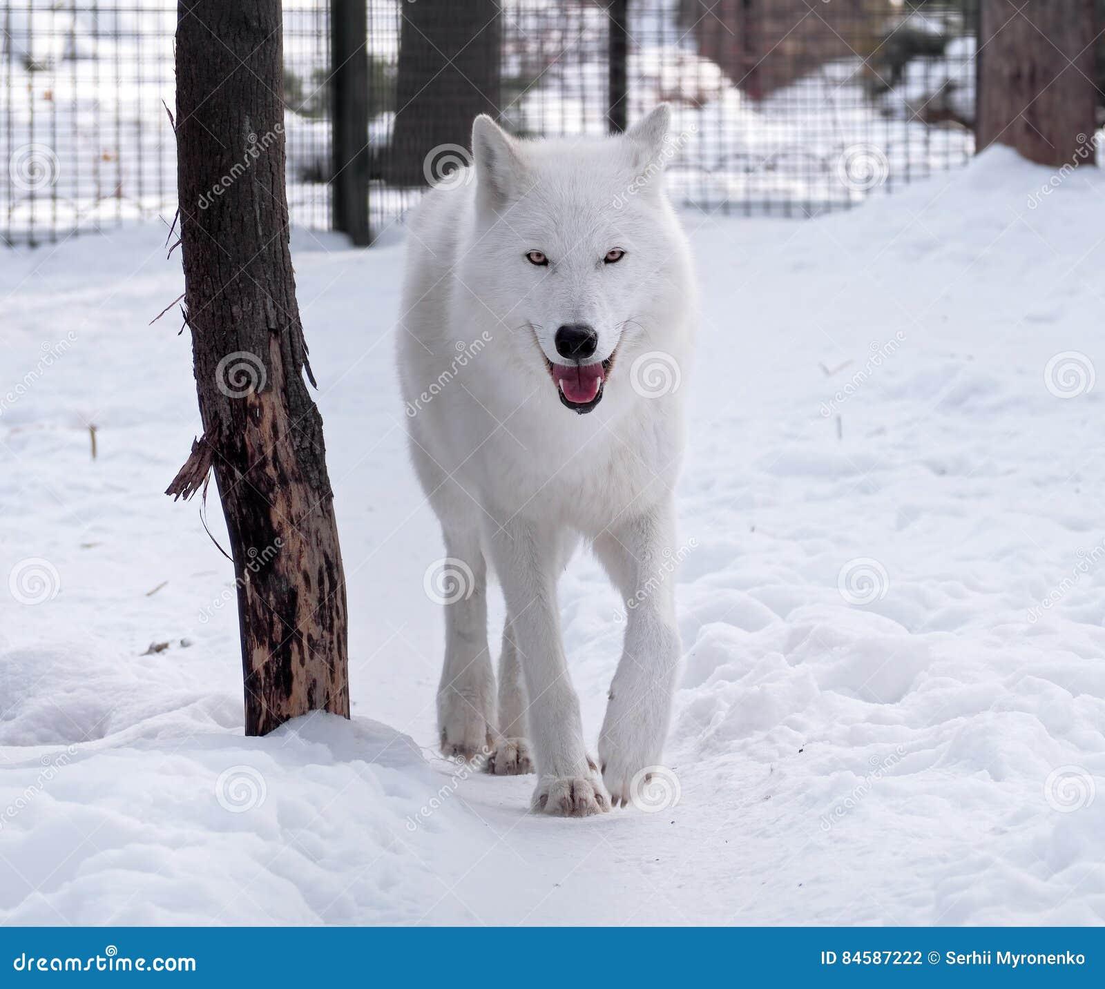 Witte wolf die bij sneeuw lopen die de camera bekijken