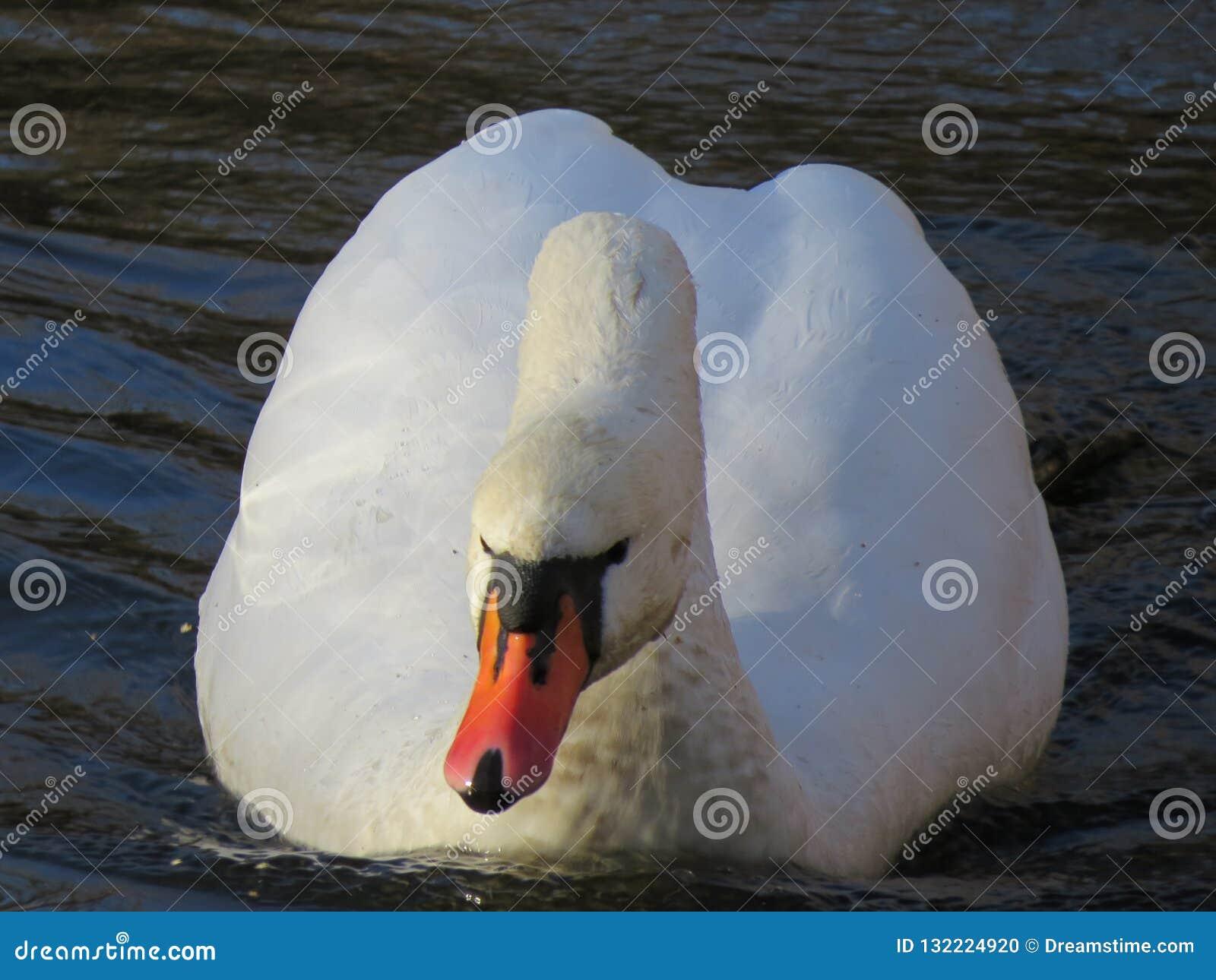 Witte Zwaan die op het rivierclose-up zwemmen