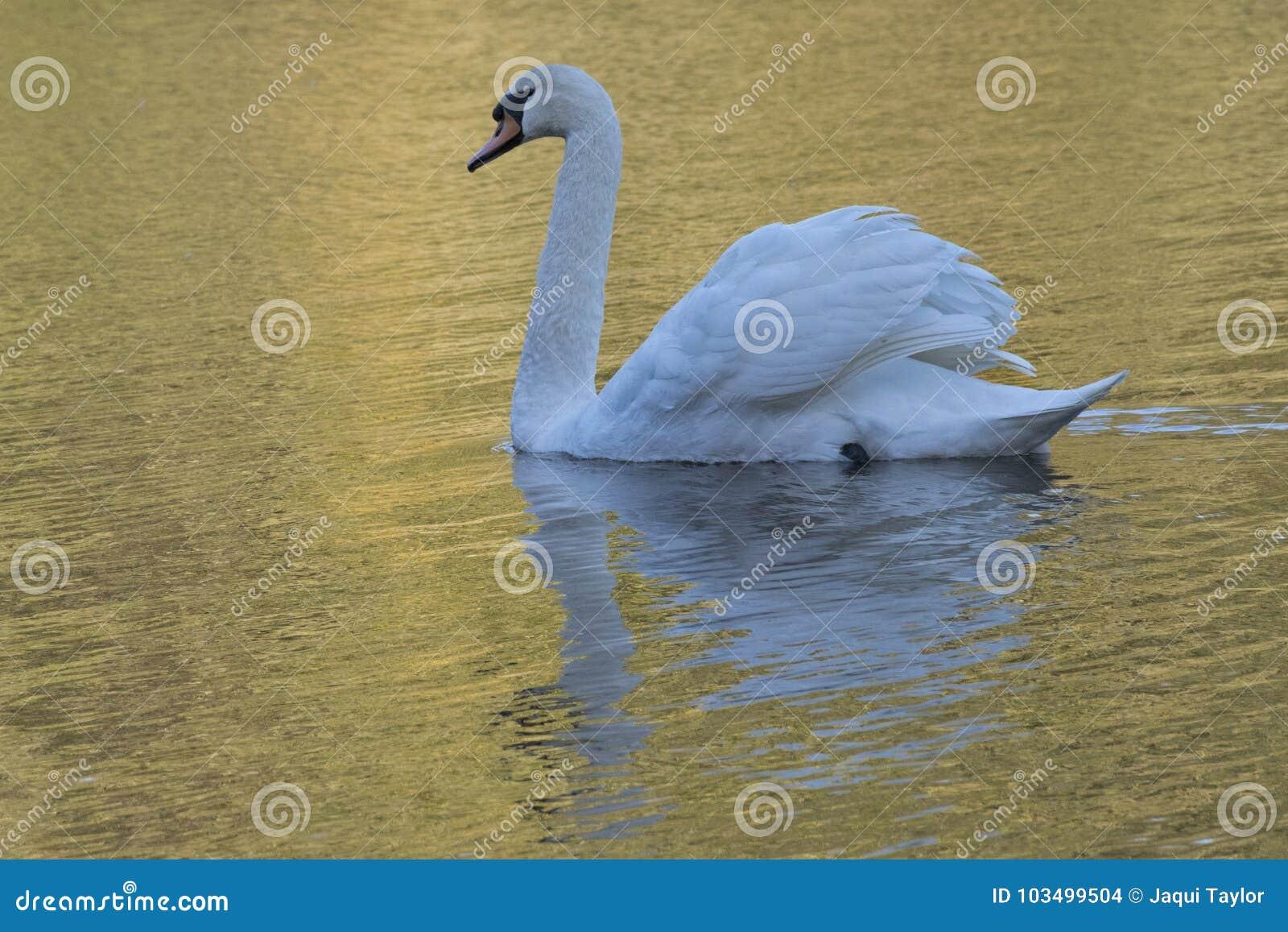 Witte zwaan in gouden licht in Gemeenschappelijk Southampton