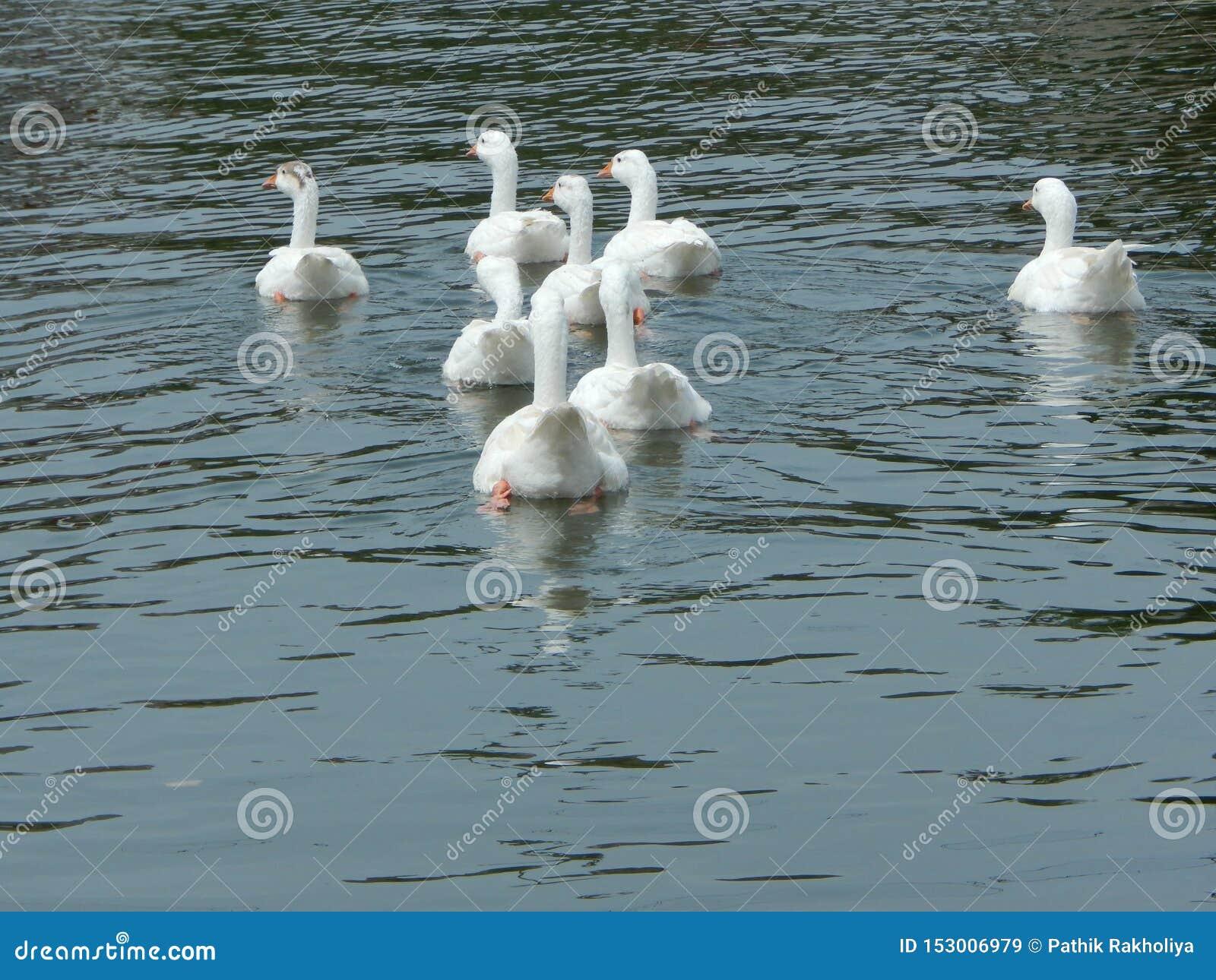 Witte zwaan op een vijver