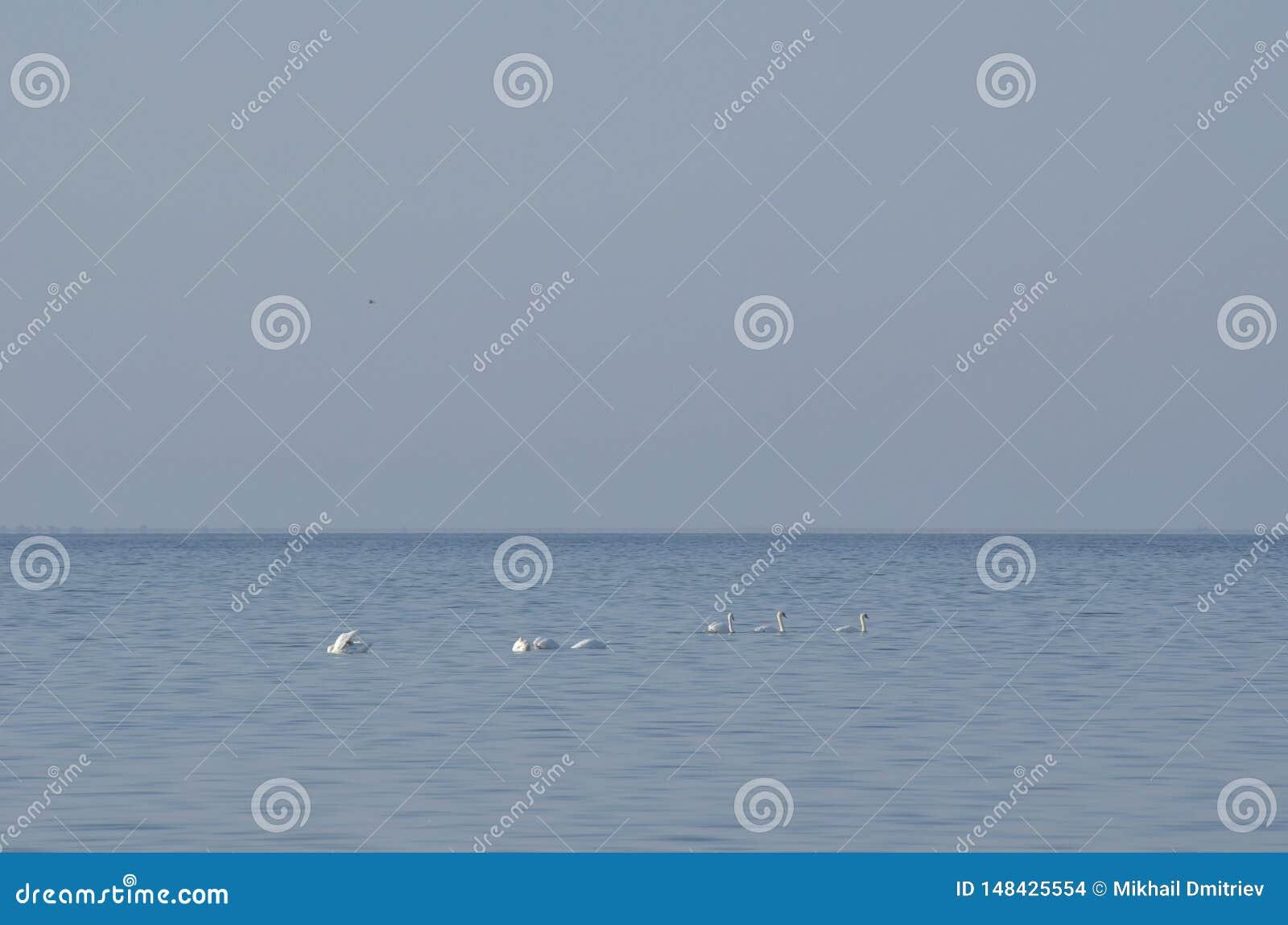 Witte zwanen tegen een blauwe hemel en waterachtergrond Zacht behang